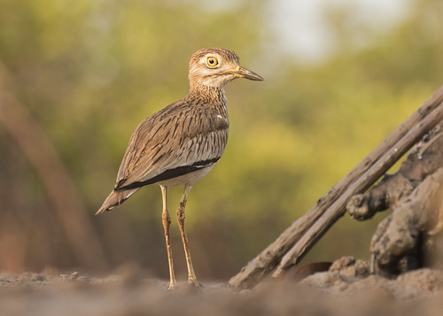 Senegal Thick-Knee - Burhinus senegalensis | by Gary Faulkner's wildlife photography
