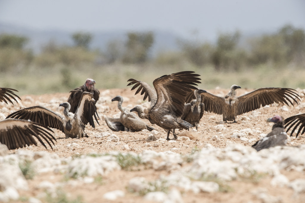 White-backed Vulture   Gyps Africanus
