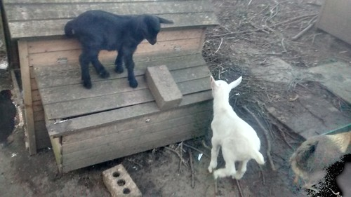 goat kids Apr 17 (30)