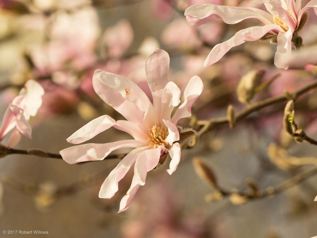 Magnolia Loebneri Leonard Messel Olympus Digital Camer Flickr