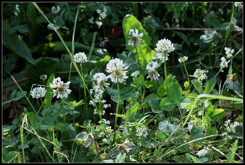 Trifolium repens - trèfle rampant 33998546102_3c4abc9e66