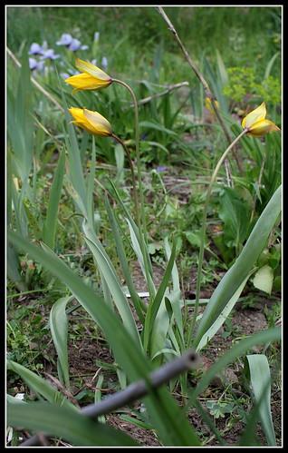 Tulipa sylvestris - tulipe sylvestre  34077784626_b5f4d7a514