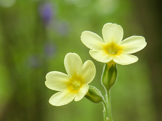 Oxlip (Primula elatior) in Hayley Wood, Cambridgeshire | by Grantham Ecology
