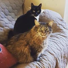 Cuddle buddies. #catsofinstagram #gumbothecat #ninathecat