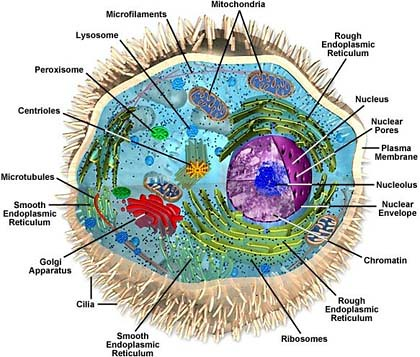 Animal Cell Structure This Is A Labeled Cell Diagram Usin Flickr