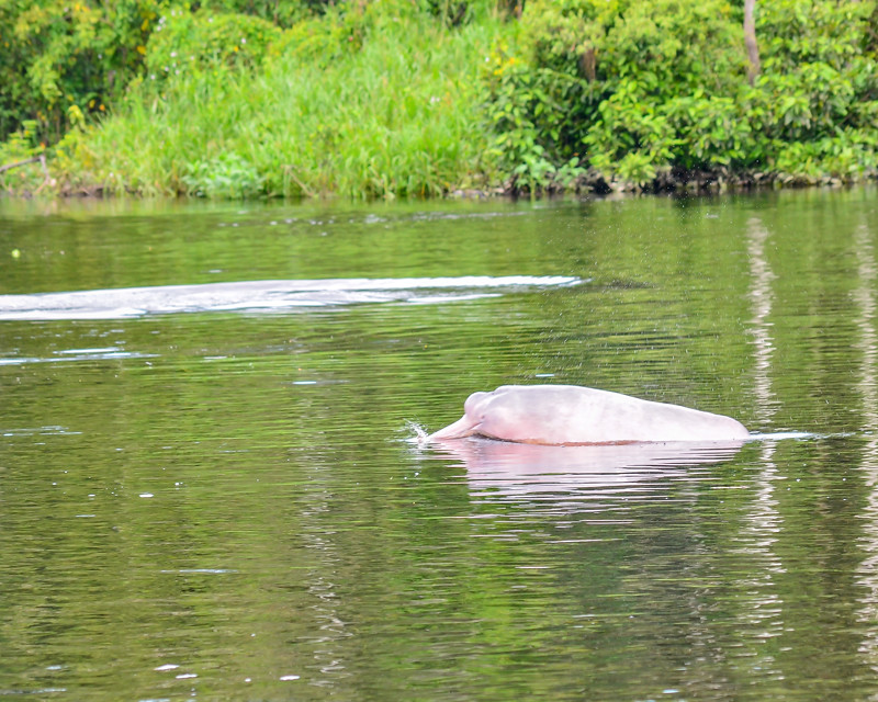 Image Result For Amazon River Dolphin