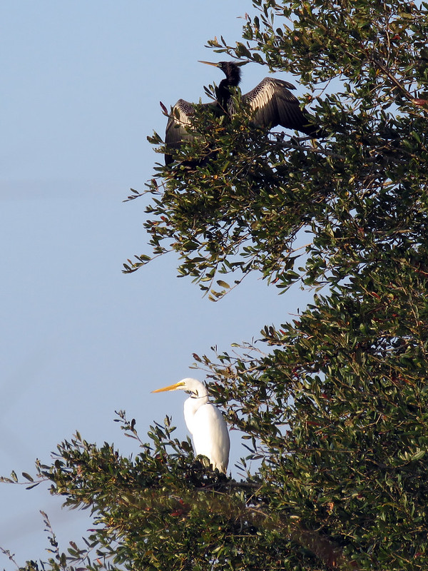 Anhinga & Great Egret