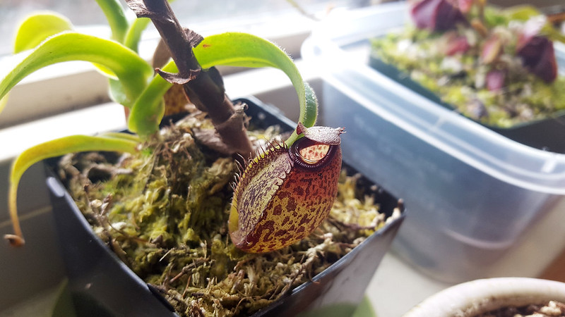 Nepenthes spectabilis x aristolochioides basal