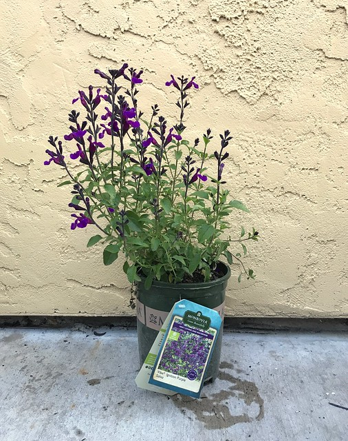 Salvia Vibe Ignition Purple will look great against the grey fence.