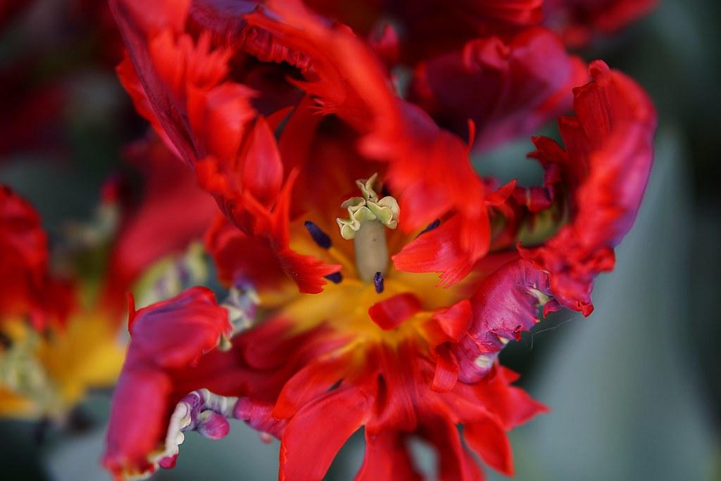 the last dance | tulipa rococo - falling to pieces | Hazel