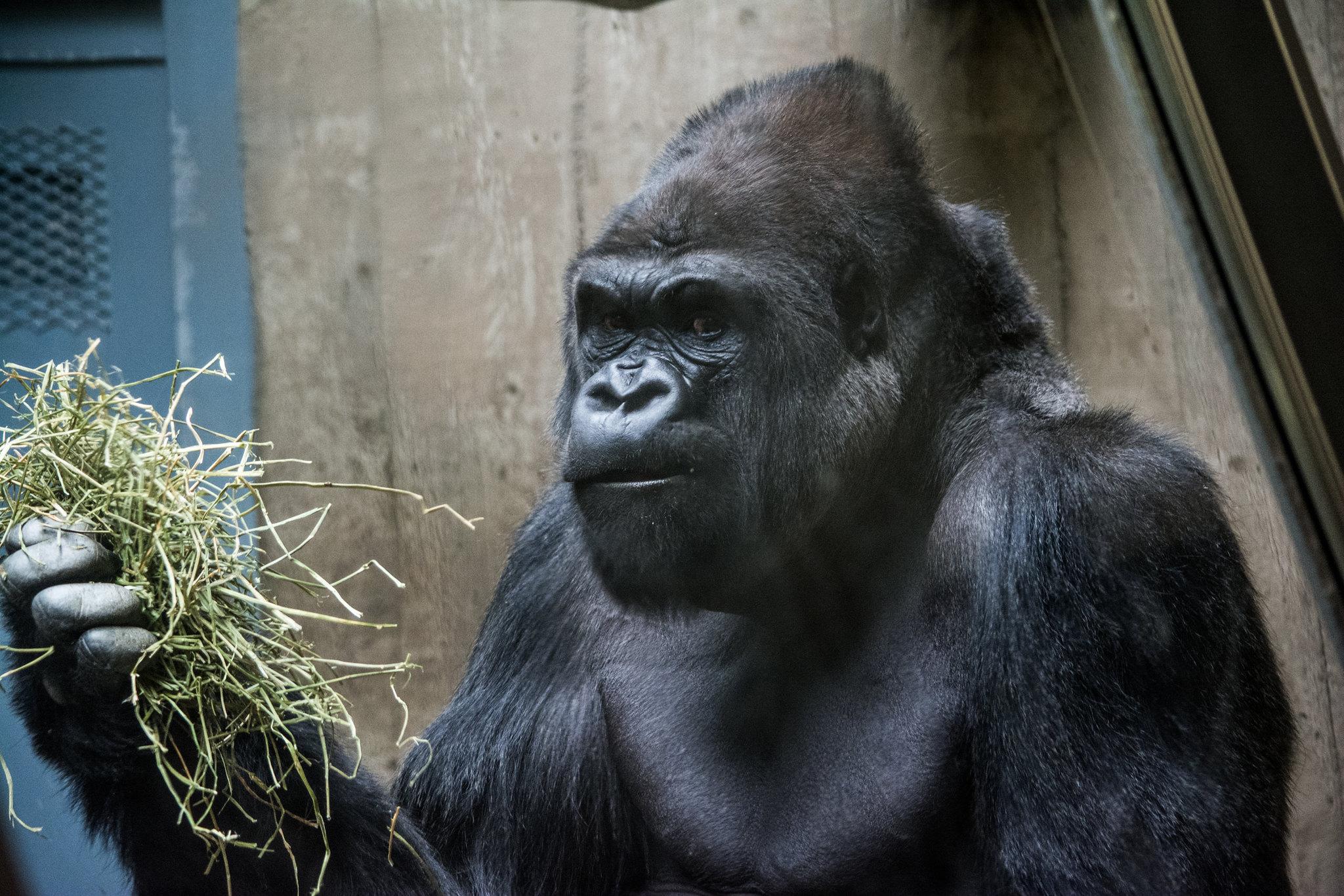 gorilla my dreams - Cleveland Zoo