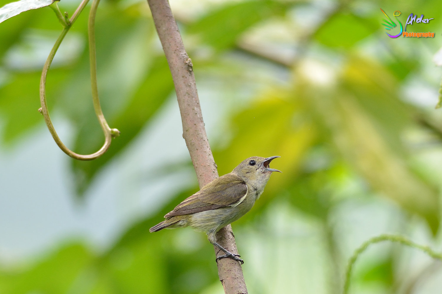 Plain_Flowerpecker_5594