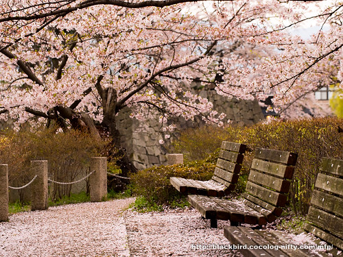 Cherry blossoms #19