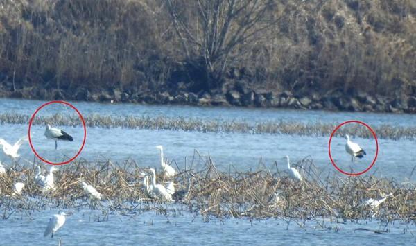 창원 주남저수지에 황새 2마리(원안)가 지난 6일부터 8일까지 사흘째 발견되고 있다. ⓒ 마창진환경연합
