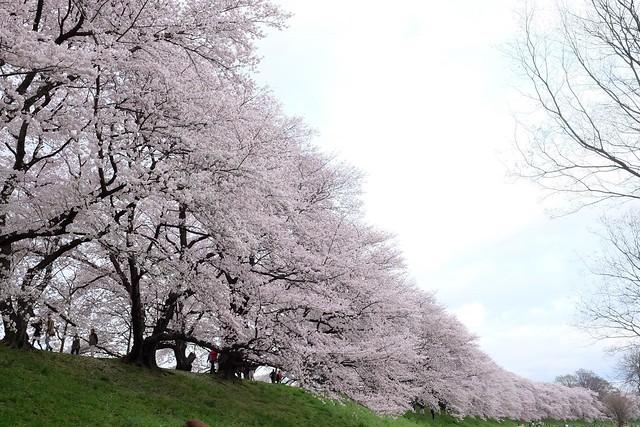 Cherry Blossoms in Sewaritei (X-T1 XF23mm F1.4)