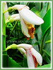 Alpinia zerumbet (Shell Ginger, Shellflower, Butterfly Ginger, Pink Porcelain Lily, Light Galangal)