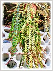 Columnea scandens L. variegata (Goldfish Plant, Flying Goldfish Plant) in a hanging pot, 5 Aug 2011