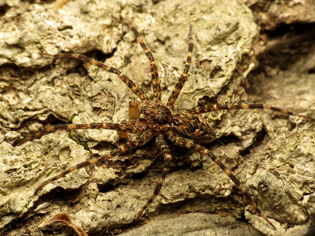 Dark Fishing Spider | Dolomedes tenebrosus male. Rock ...