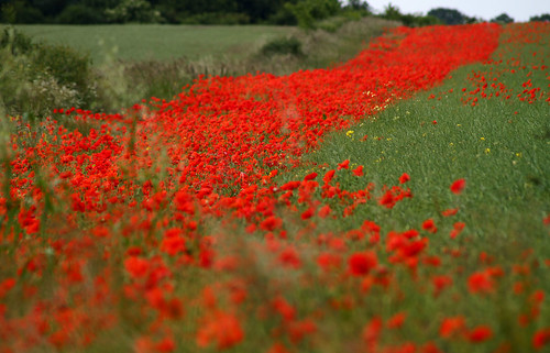 river of red poppies .. | by Sue Nicholson