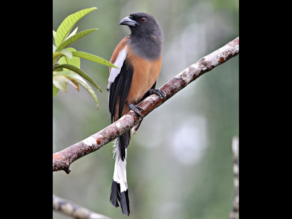 Indian Rufous Treepie These 50 Cm Long Birds Are Seen Sol Flickr