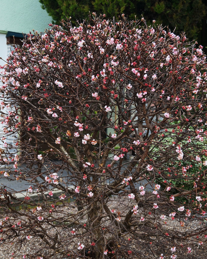 viburnum x bodnantense aberc ex stearn 1947 cv 39 dawn 39 flickr. Black Bedroom Furniture Sets. Home Design Ideas