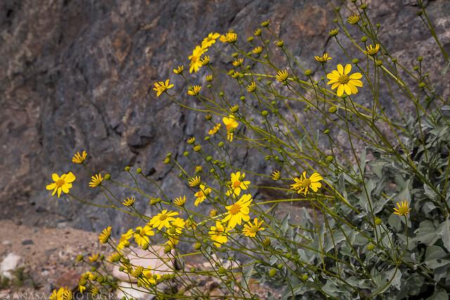 Goler Wildflowers