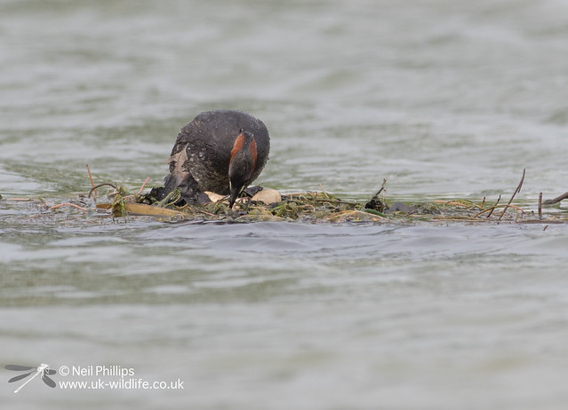 Little grebes trying to save nest-6
