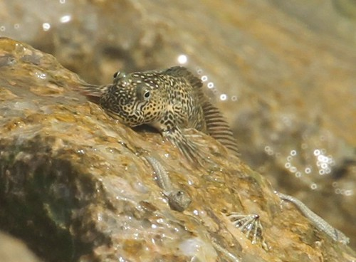 pacific-leaping-blenny2