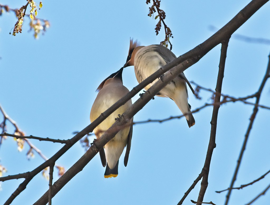 Cedar waxwings feeding each other