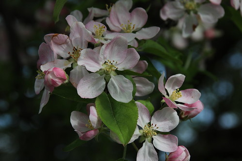 IMG_10081_Apple_Tree_Blossom