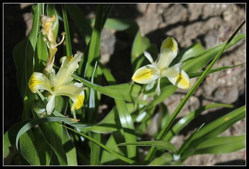 Iris bucharica 33954474246_09602231ac