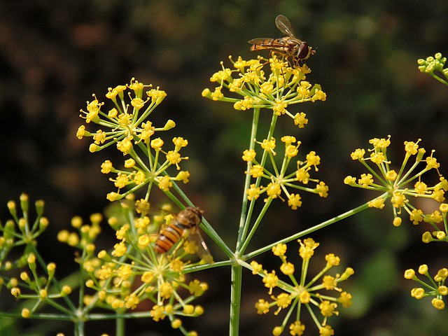 Nepal Bees - Mustard Flowers