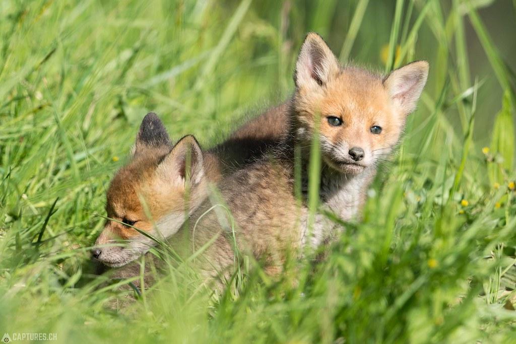 Fox kittys 3 - Emmental