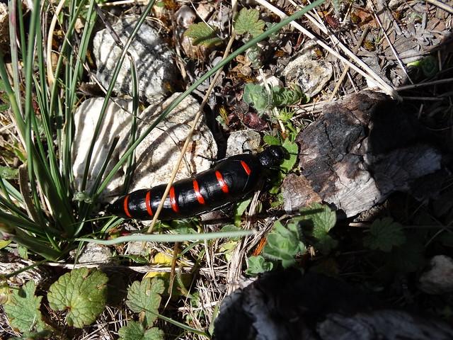 Escarabajo en Pena Trevinca