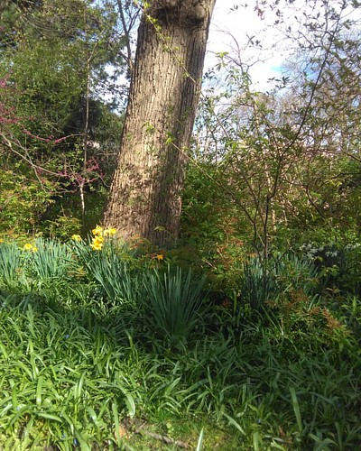 Daffodils #toronto #wychwoodpark #latergram #flowers #daffodils