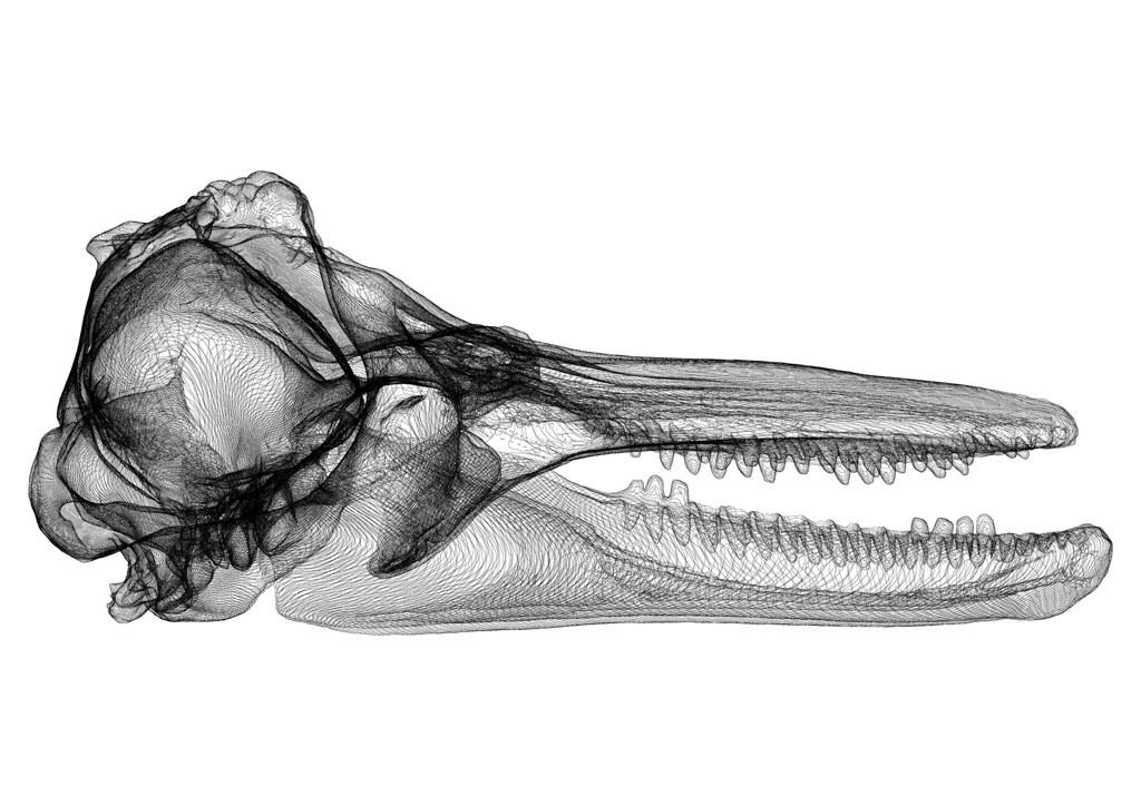 Skull - Dolphin - Side | Tursiops truncatus A4 Sheet - Lands… | Flickr
