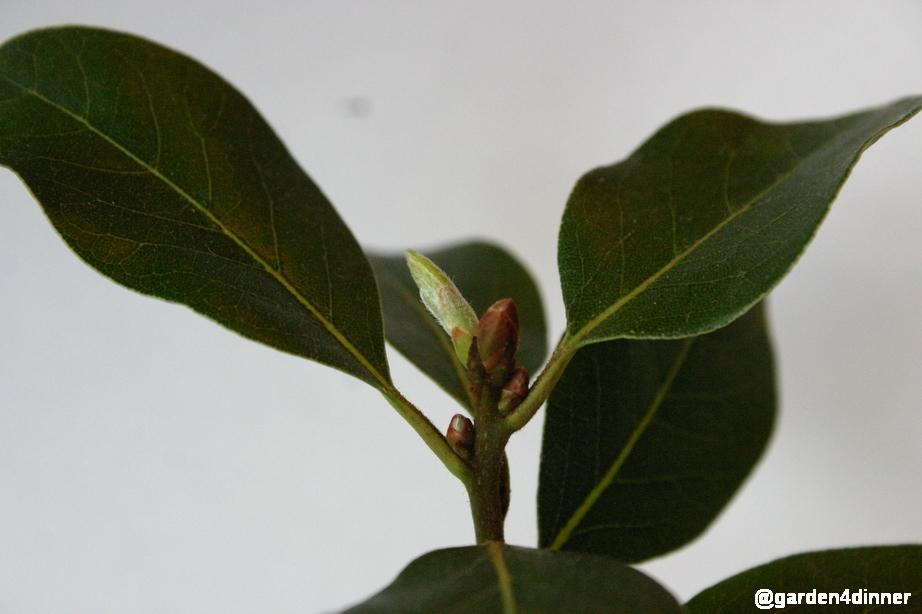 sweet laurel bay tree