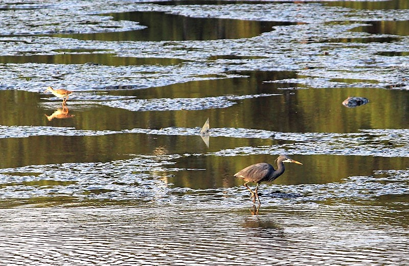 The mudflats is also a rich feeding ground for birds such as the Western reef egret and redshank that frequent the area despite the clanking of the ship metals and the loud honking heard during their repair.