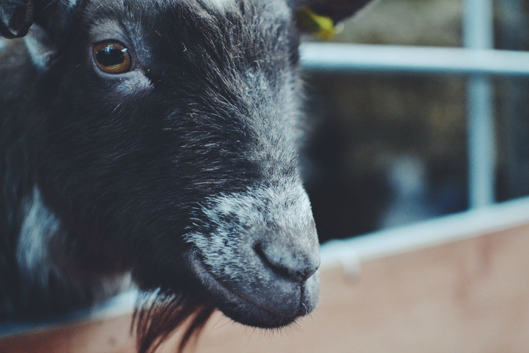 Goat Farmer Palmers