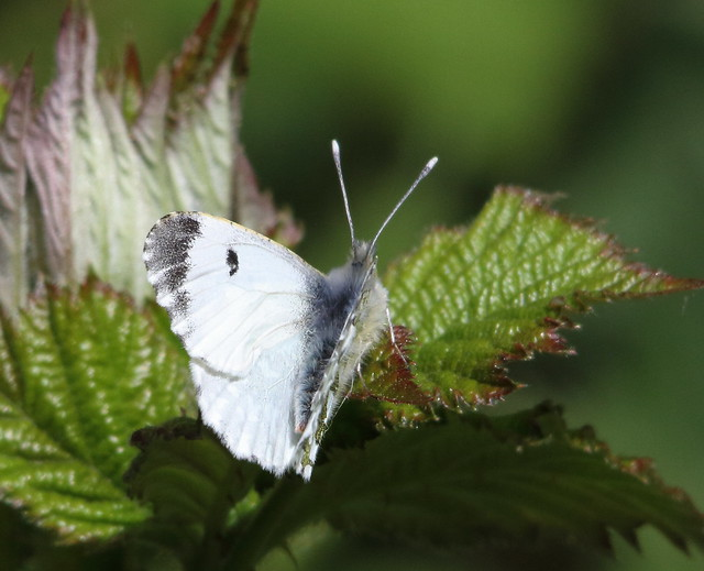 Orange Tip Butterfly