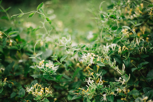 foraging honeysuckle for cordial | by Beth Kirby | {local milk}