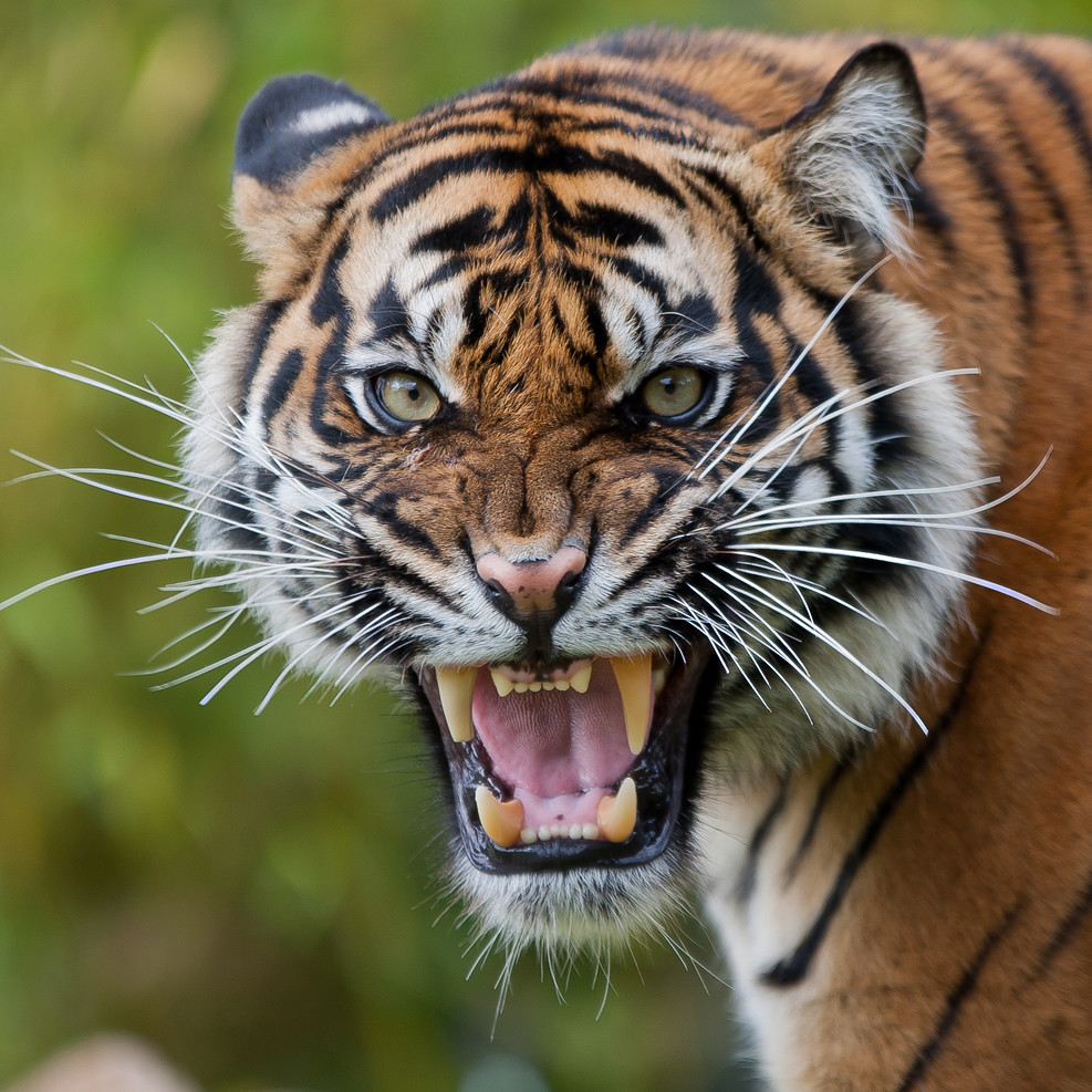 angry tiger photos - photo #4