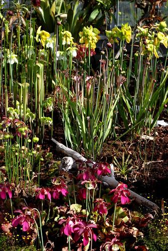 Sarracenia collection photo prise au jardin botanique de for Jardin botanique lyon