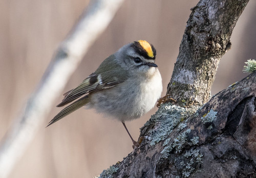 Golden-crowned Kinglet | by Laura Erickson