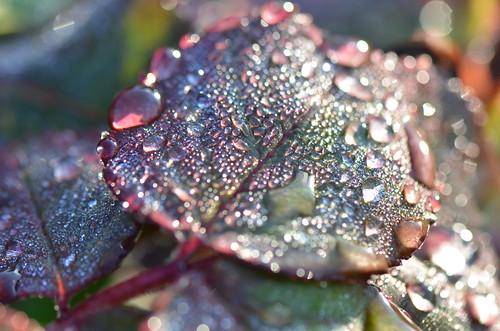 Dew on rose tree