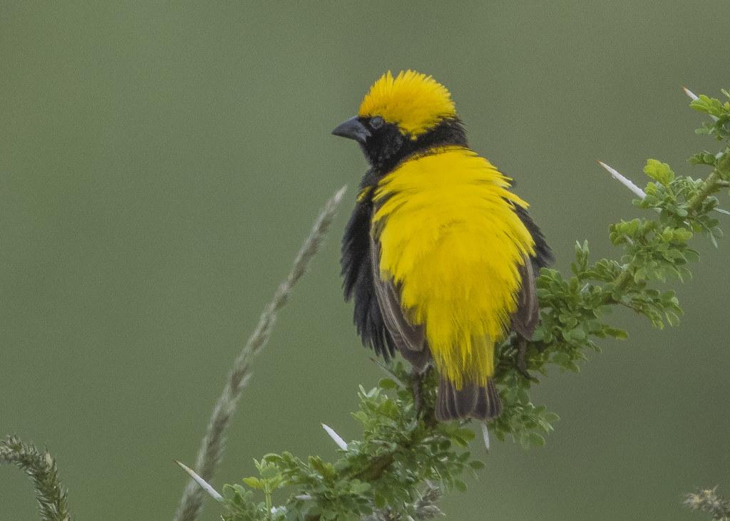 Yellow-crowned Bishop Euplectes Afer