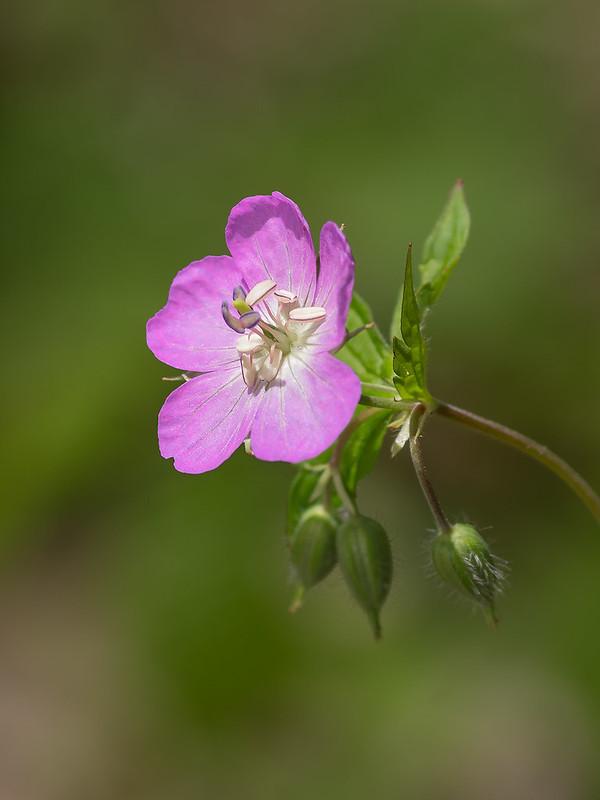 Spotted Wild Geranium