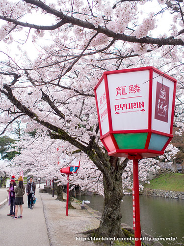 Cherry blossoms #04