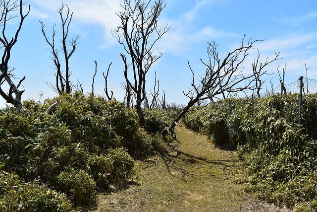 伊豆山稜線歩道の枯れ木