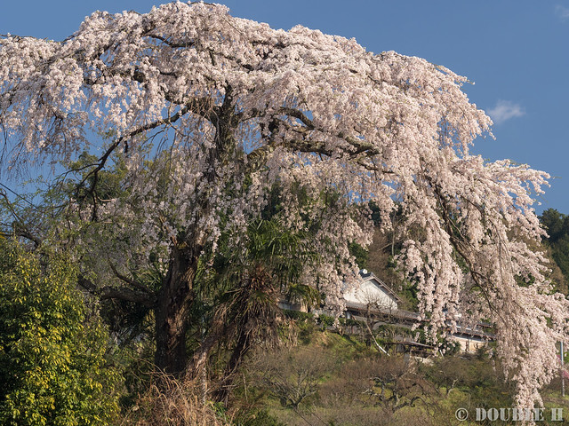 Sakura trees at west Yoshino area (9)